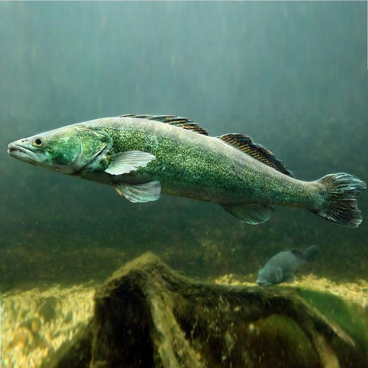 Рыба Судак, фото