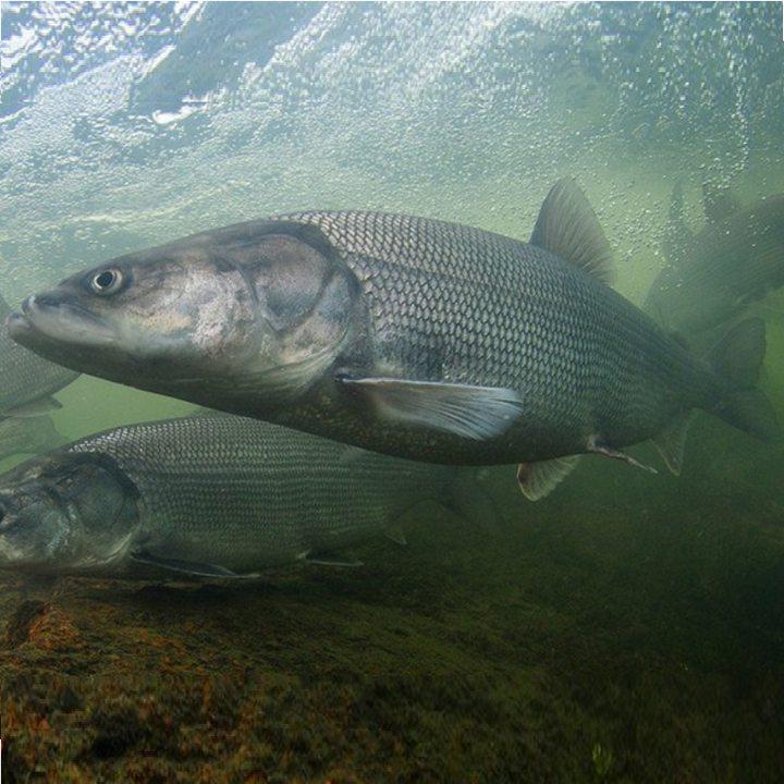 Рыба белорыбица, фото