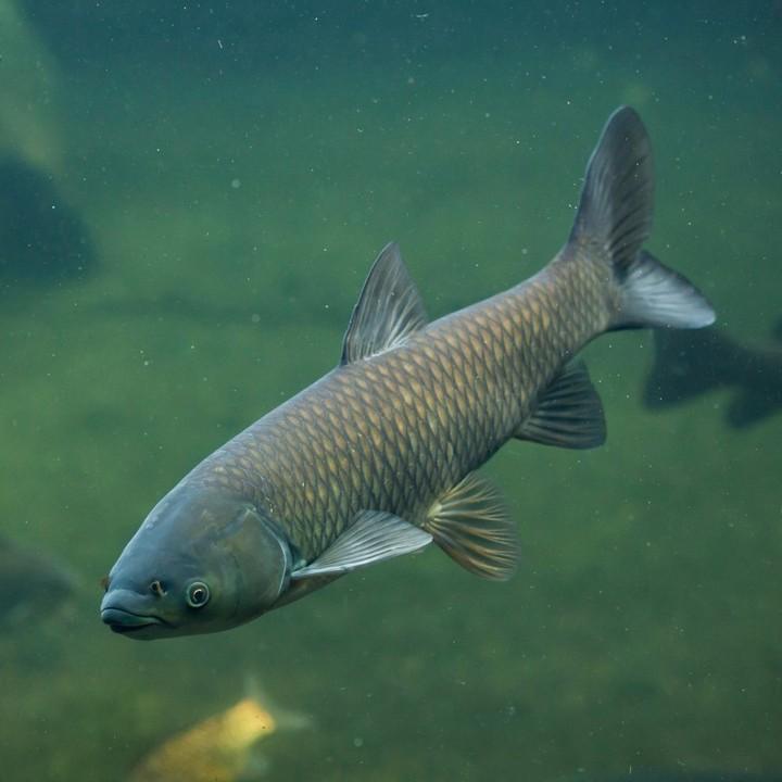 Рыба белый амур, фото