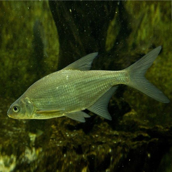 Рыба густера, фото