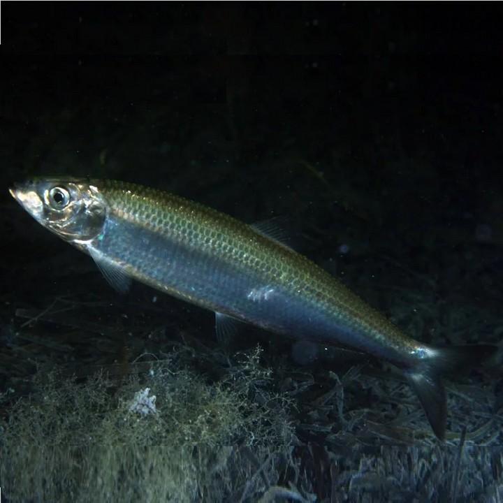 Рыба сельдь, фото