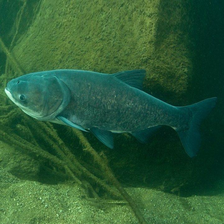 Рыба толстолобик, фото