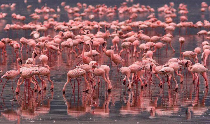 Фламинго в Коргалжынском заповеднике в Казахстане, фото