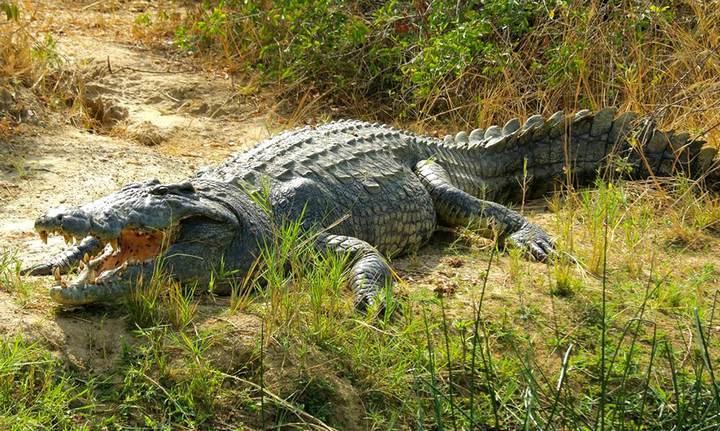 Крокодил в реке Нил, фото