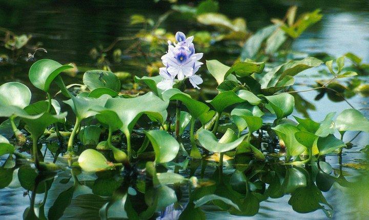 Растение Эйхорния, фото