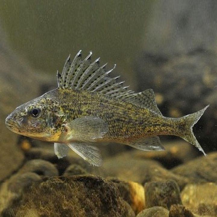 Рыба Ерш, фото