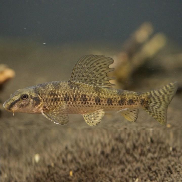 Рыба абботина, фото