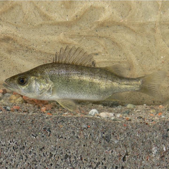 Рыба балхашский окунь, фото