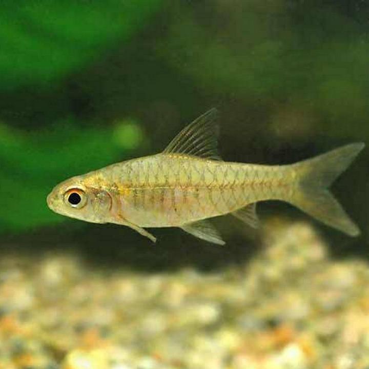 Рыба барбус конго, фото