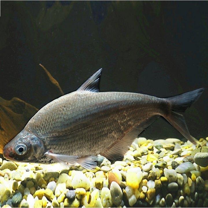 Рыба белоглазка, фото