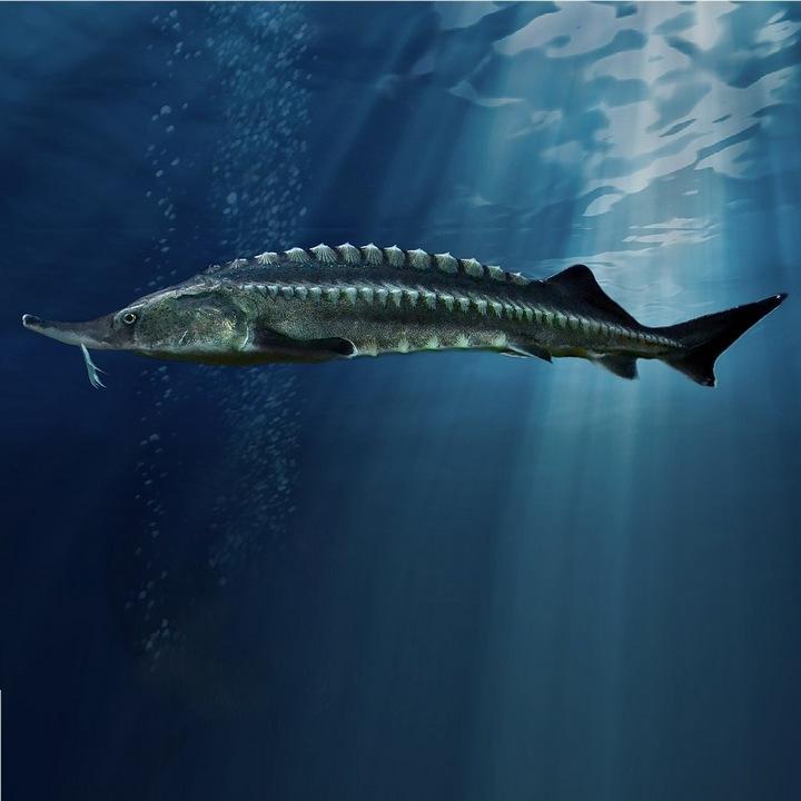 Рыба белуга, фото