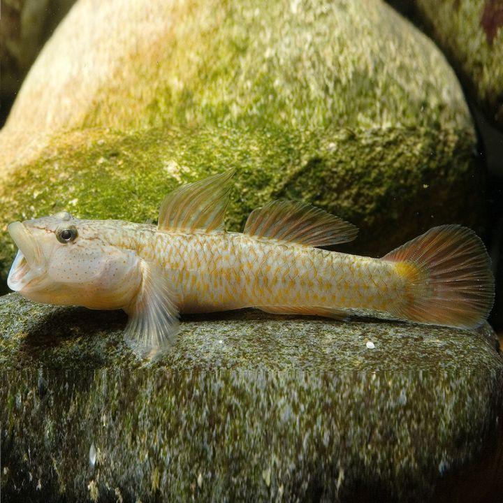 Рыба бычок, фото