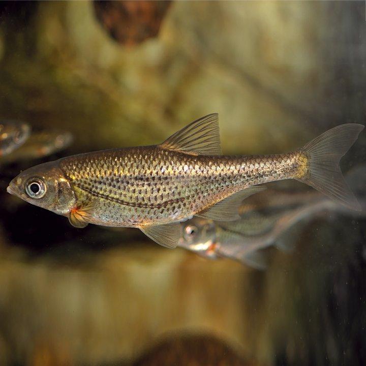 Рыба быстрянка, фото