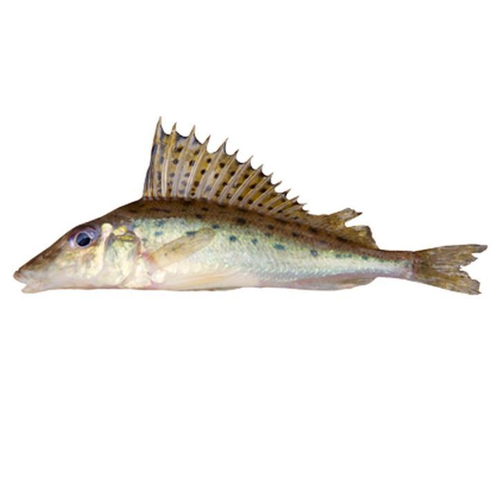 Рыба ерш-носарь, фото