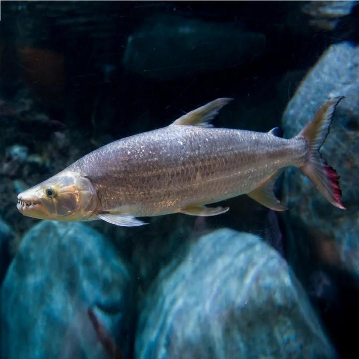 Рыба гигантский гидроцин, фотоРыба гигантский гидроцин, фото