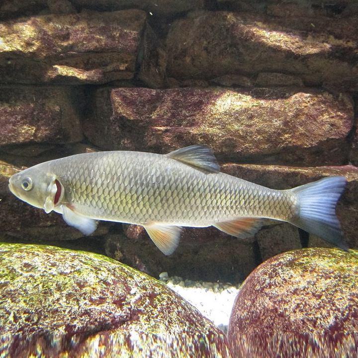 Рыба голавль, фото