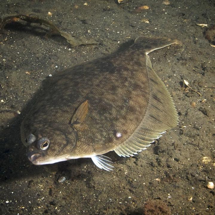 Рыба камбала, фото