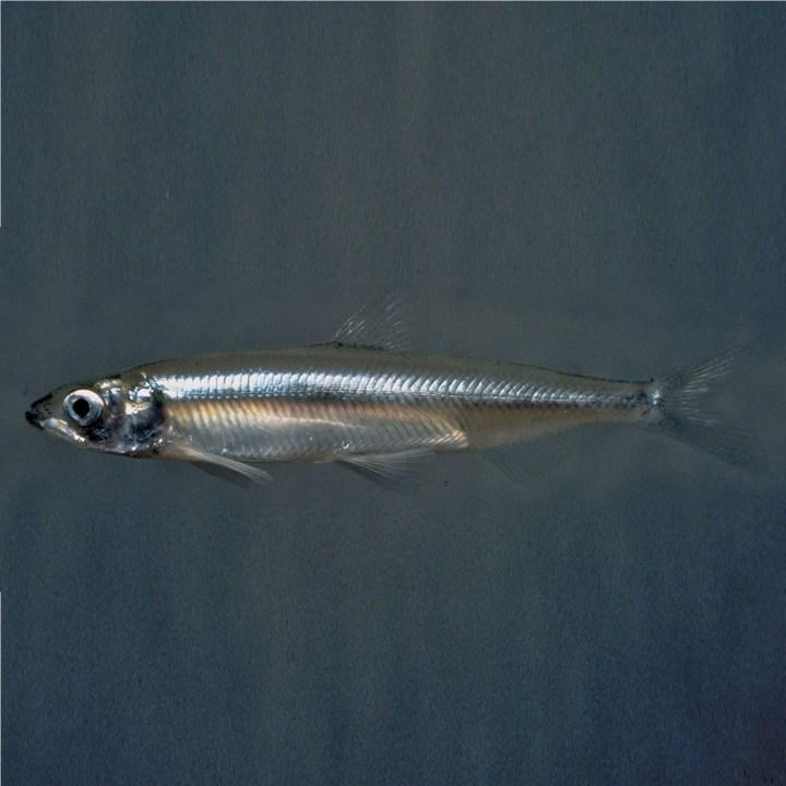 Рыба корюшка, фото