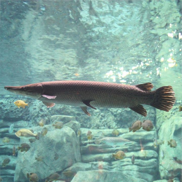 Рыба миссисипский панцирник, фото