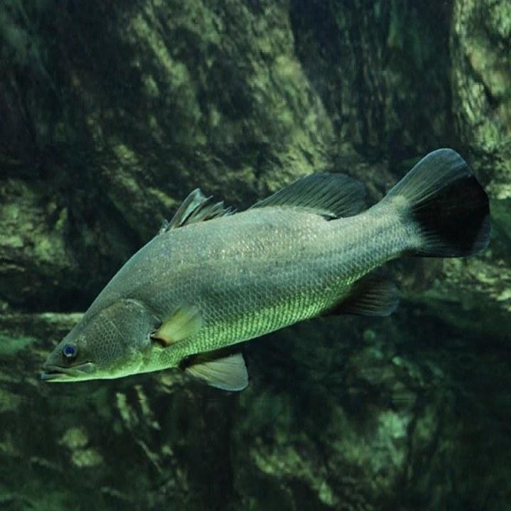 Рыба нильский окунь, фото