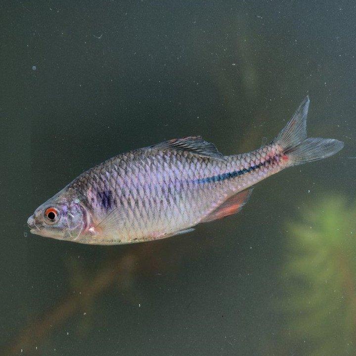 Рыба обыкновенный горчак, фото