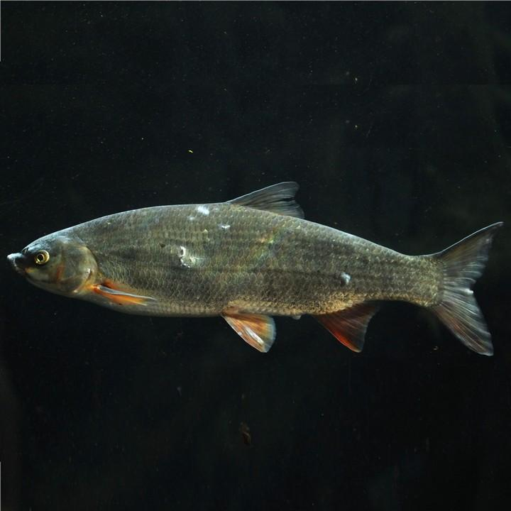 Рыба обыкновенный подуст, фото