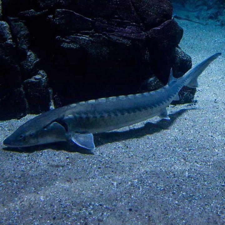 Рыба осетр атлантический, фото