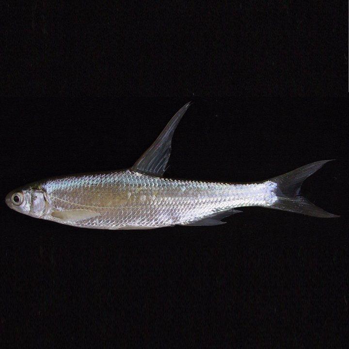 Рыба остролучка, фото