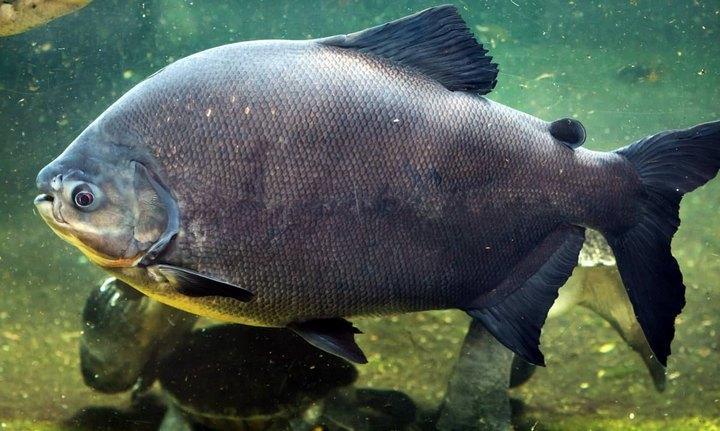 Рыба паку, фото