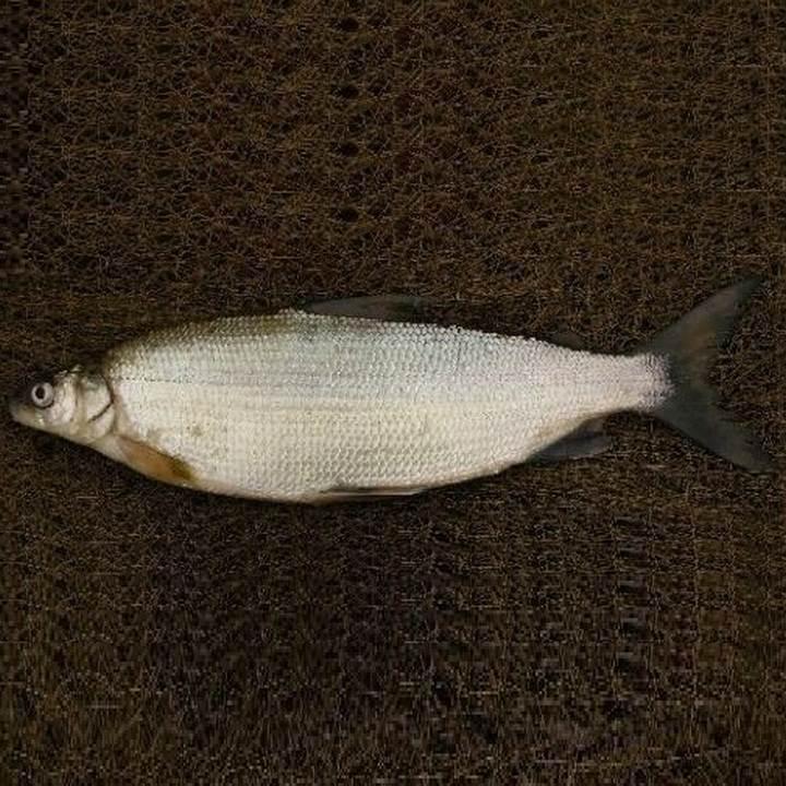 Рыба пелядь, фото