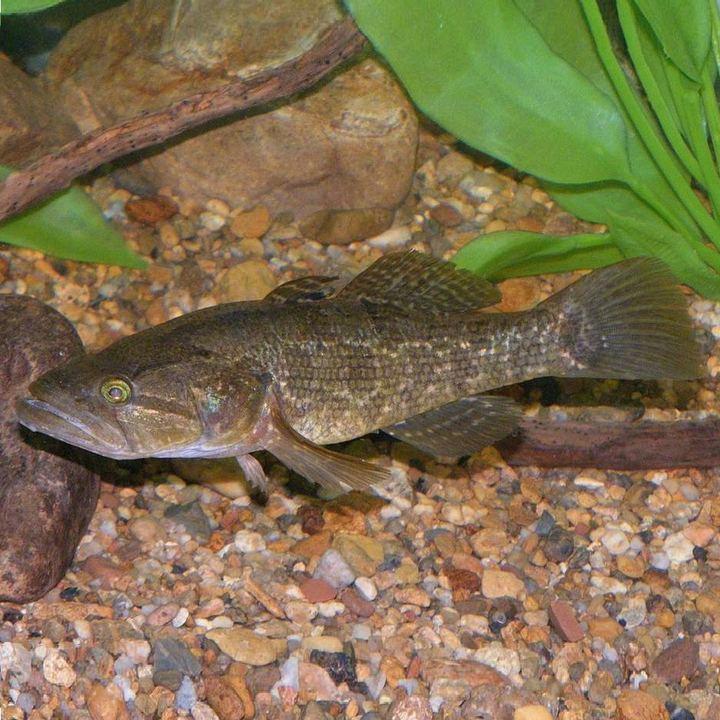 Рыба ротан-головешка, фото