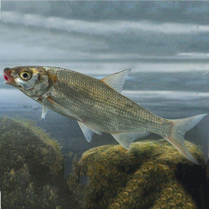 Рыба рыбец, фото
