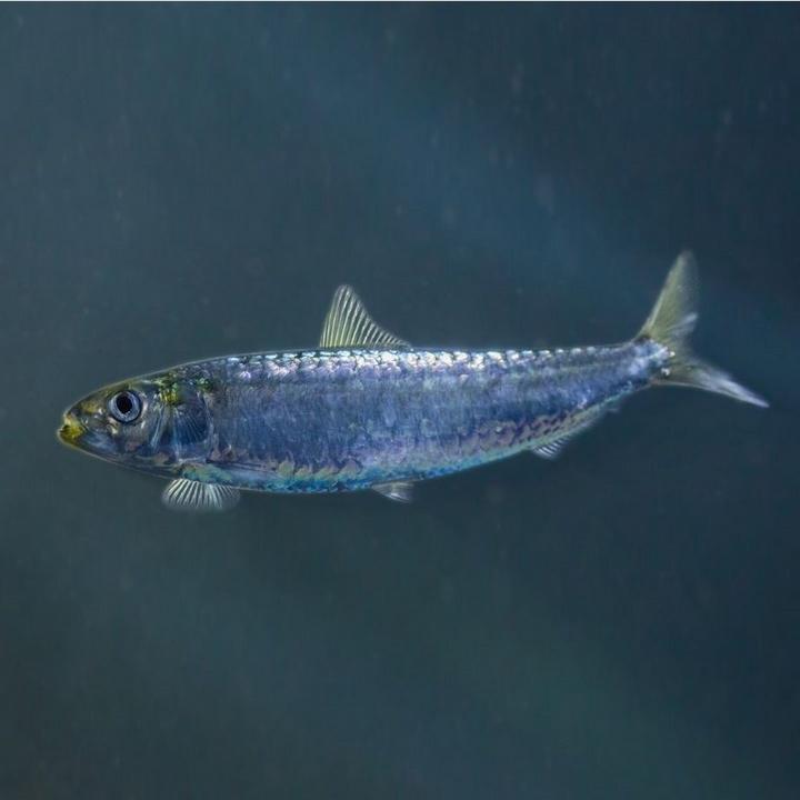 Рыба сардина, фото
