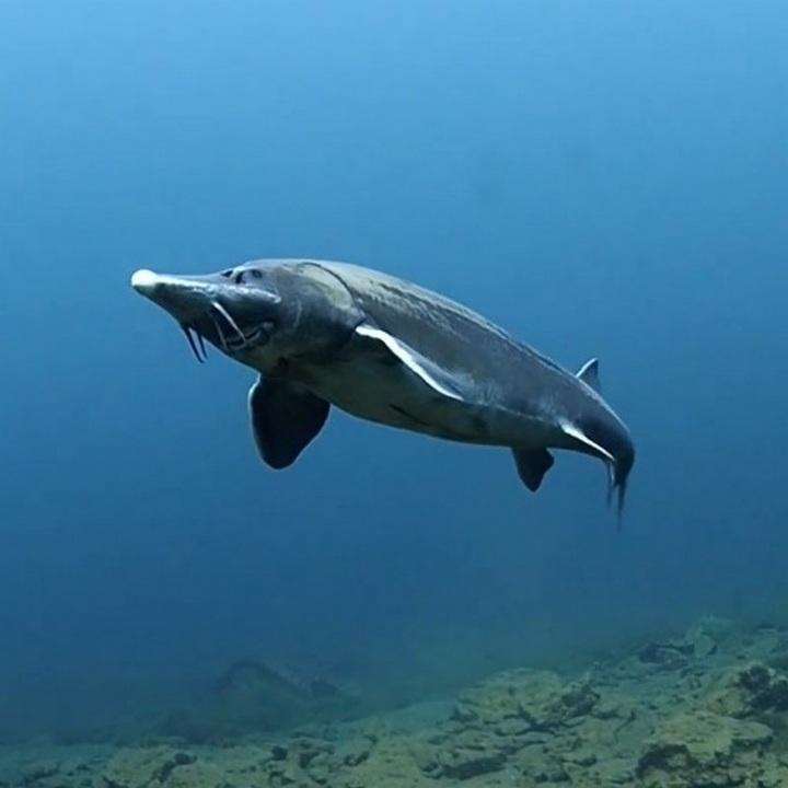 Рыба сибирский осетр, фото