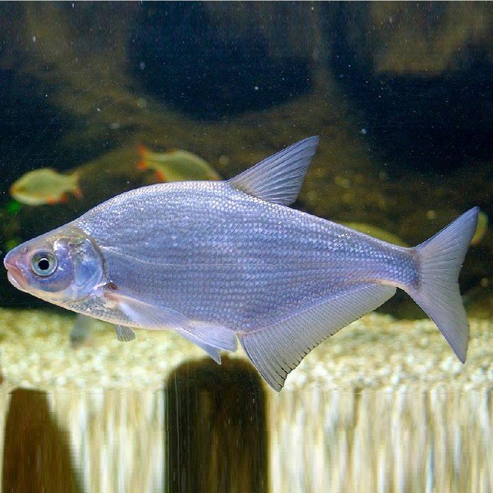 Рыба синец, фото
