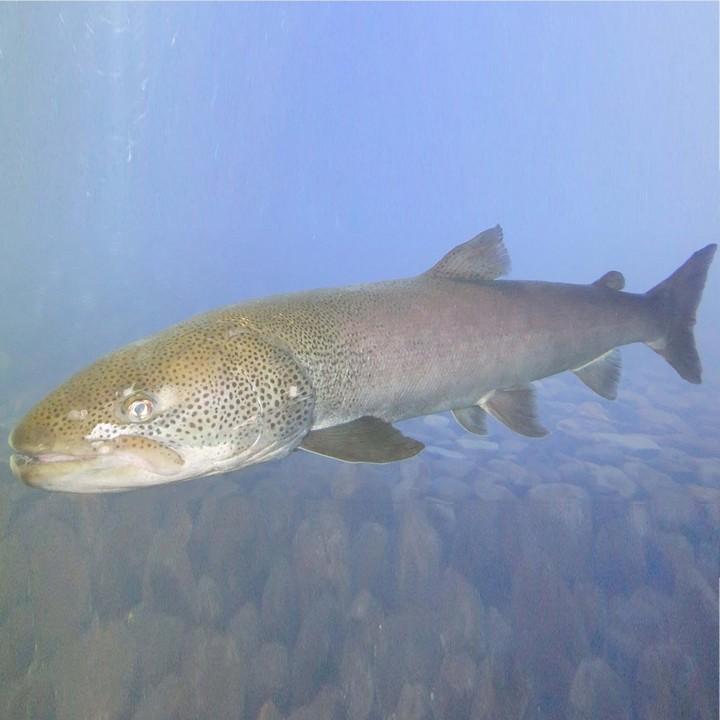 Рыба таймень, фото