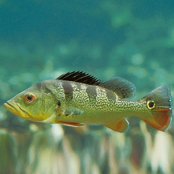 Рыба цихлида, фото