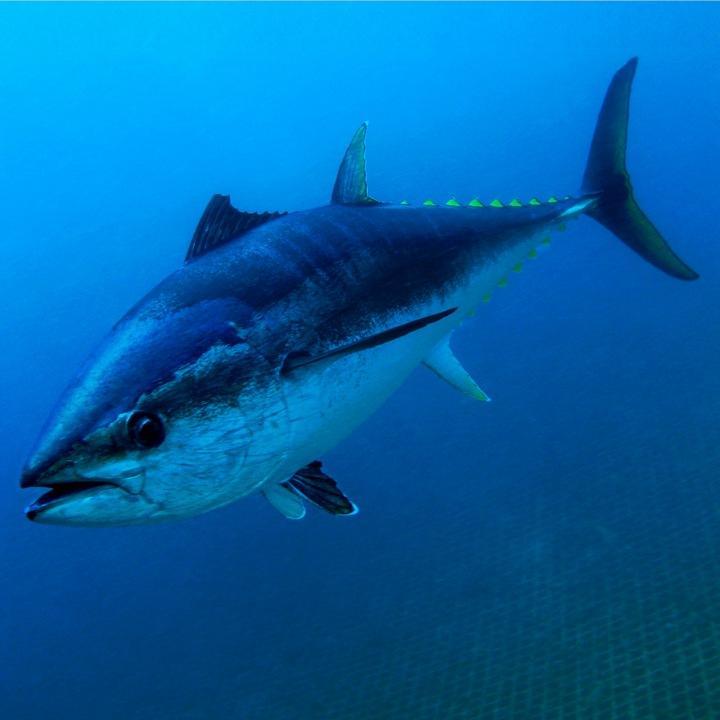 Рыба тунец, фото