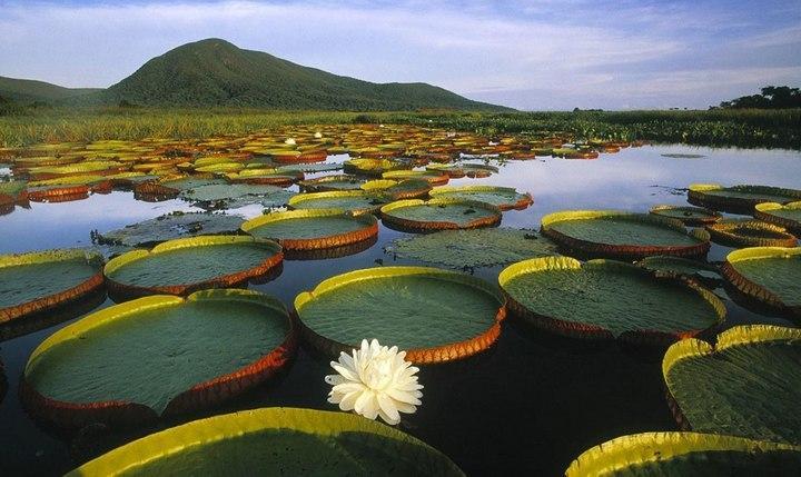 Виктория Регия на реке Амазонка, фото