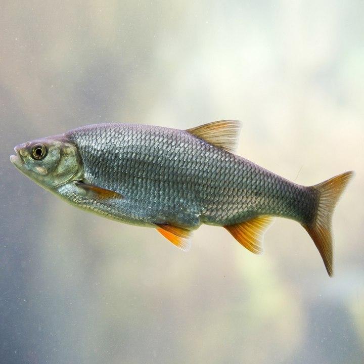Рыба Вобла, фото