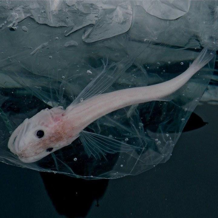Рыба голомянка байкальская, фото