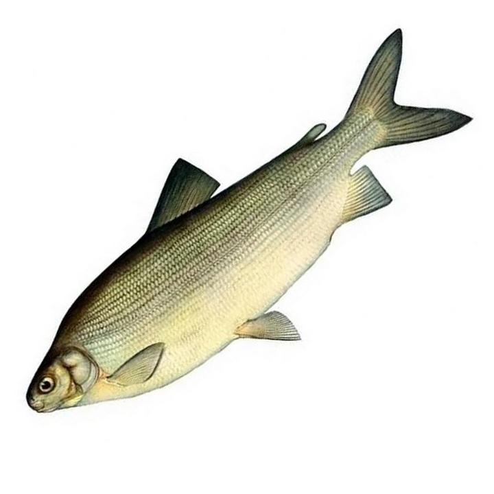 Рыба чир, фото