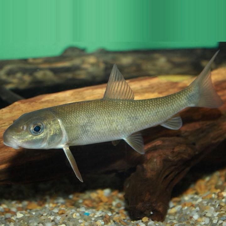 Рыба чукучан, фото