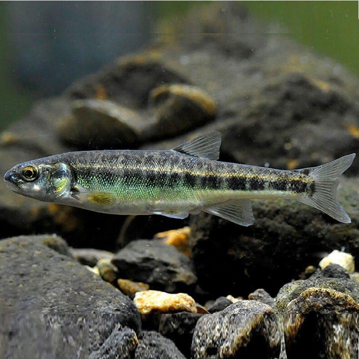 Рыба гольян, фото