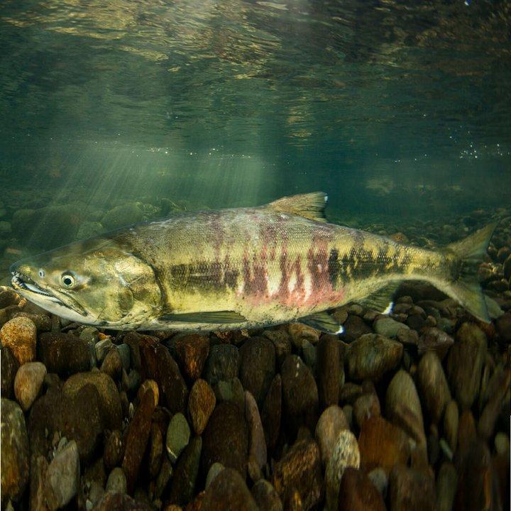 Рыба кета, фото