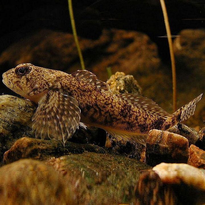 Рыба пестроногий подкаменщик, фото