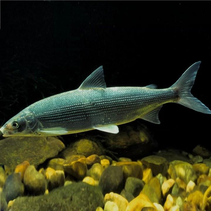 Рыба сиги, фото
