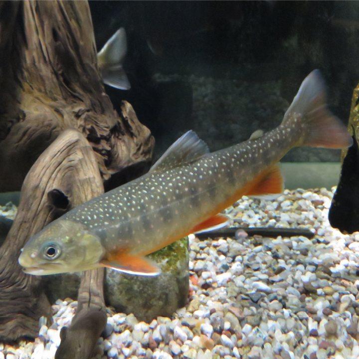 Рыба арктический голец, фото