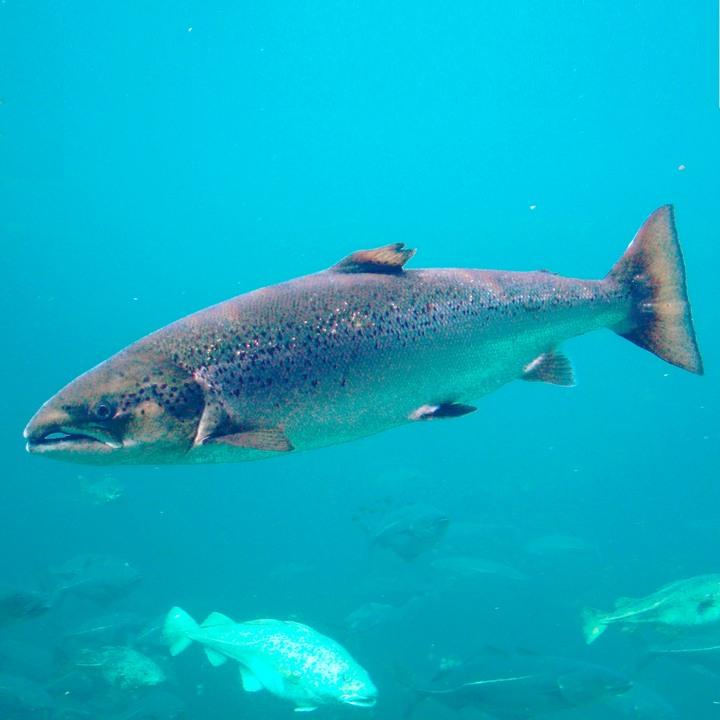 Рыба атлантический лосось, фото