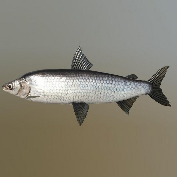 Рыба пыжьян, фото